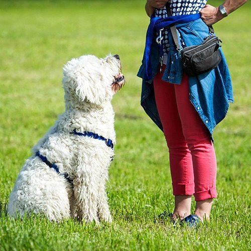 Koulutustilanne käynnissä. Koira odottaa naishenkilön ohjausta istuen nurmikolla tätä vastapäätä.