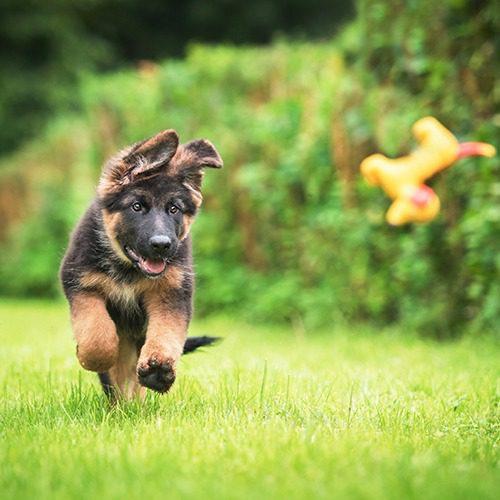 Saksanpaimenkoiran pentu juoksee nurmikolla. Sen eteen on heitetty lelu.