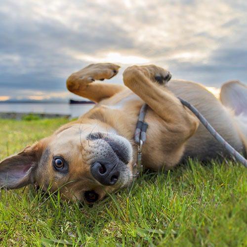 Sekaroituinen koira makoilee selällään nurmikolla.
