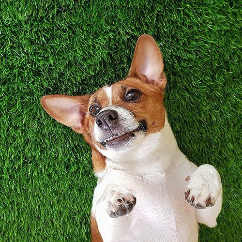 Koira makoilee selälleen vihreällä tekonurmikolla.