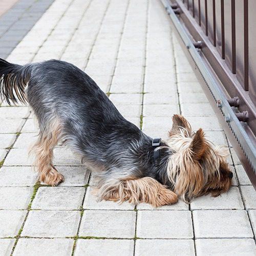 Koira katsoo portin alta.