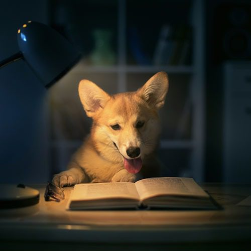 Koira on kirjan edessä. Näyttää siltä, kuin koira lukisi kirjaa.
