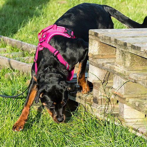 Rottweilerin pentu tutkii nuuhkimalla nurmikkoa.