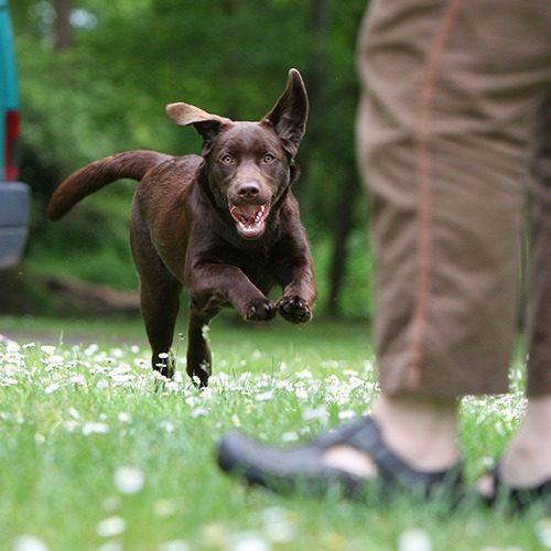 Ruskea labradori juoksee leikkisästi kohti ihmistä.