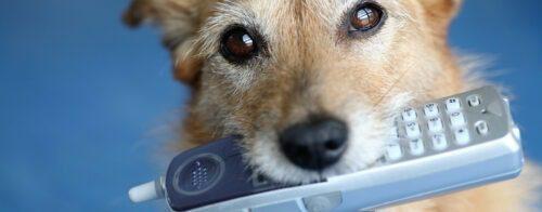 Koira pitää kännykkää suussaan.