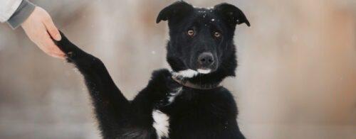 Musta koira antaa etutassuaan ihmiselle. Koiralla on silmät suuresti auki, se katoo kameraan ja näyttää hieman ihmettelevän tilannetta.