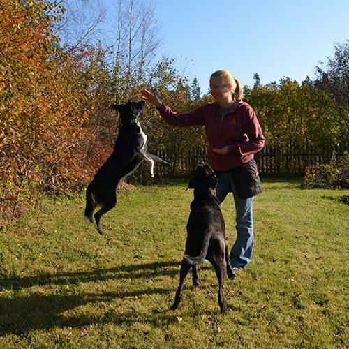 Vuokko Väyrynen koiriensa kanssa ulkona. Toinen koirista hyppää korkealle namipalan toivossa.