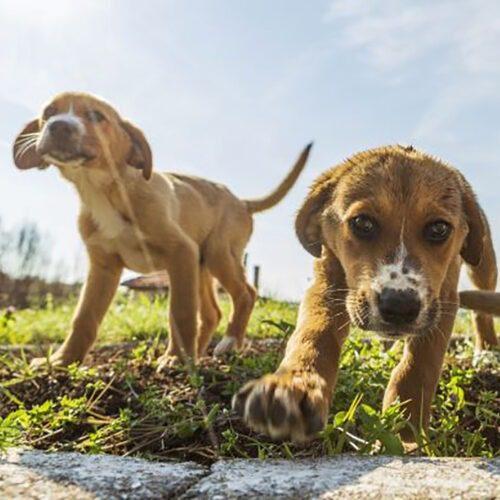 Kaksi vaaleaa koiranpentua leikkimässä nurmikolla.