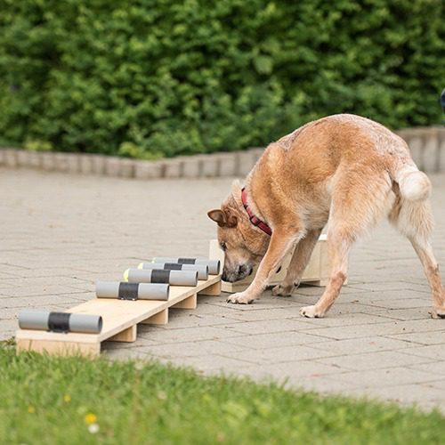 Koira etsii tiettyä hajua.