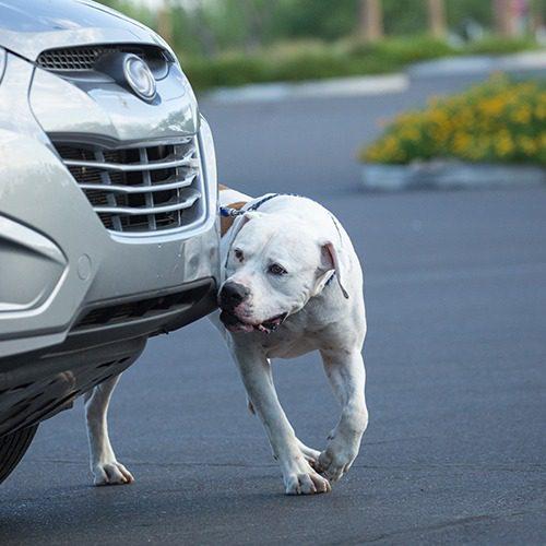 Koira etsii tiettyä hajua auton luota.