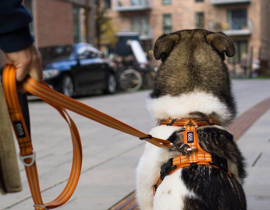 Koiralla on oranssit Dog Copenhagenin valjaat päällä. Koira istuu selin kuvaajaa kohti.