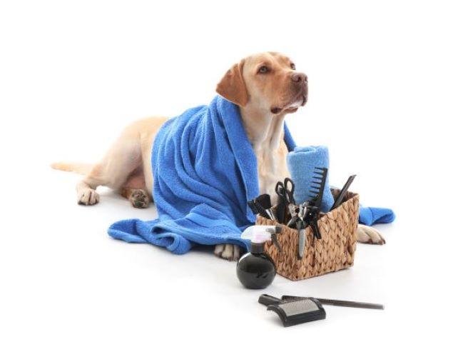 Labradorinnoutaja katsoo omistajaa