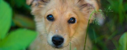 Pieni vaalea koira katsoo vetoavasti suoraan kameraan.