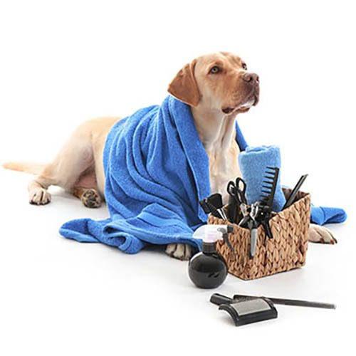 Labradorinnoutajan selkään on laitettu sininen pyyhe. Sen ympärillä on muun muassa kampa ja kynsisakset.