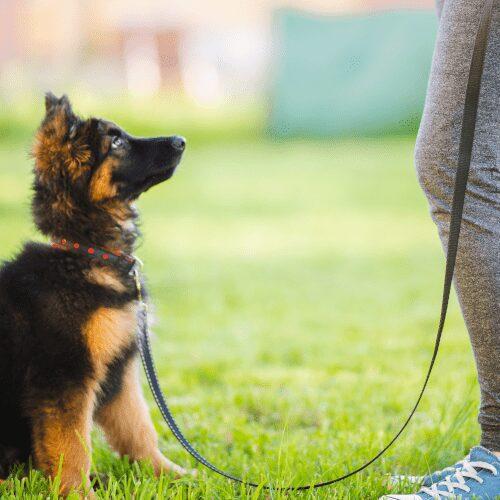 Pentukoira istuu nurmikossa ja katsoo ylöspäin kohti omistajaansa.
