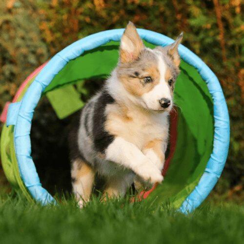 Koira juoksemassa ulos agilitytunnelista.