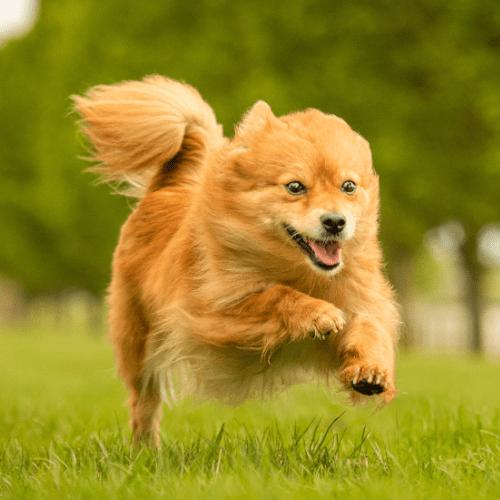 Koira juoksee nurmikolla.