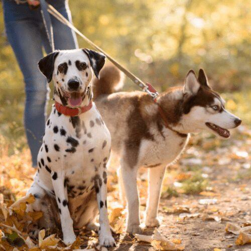 Kaksi koiraa talutushihnoissa ulkoilemassa omistajansa kanssa.