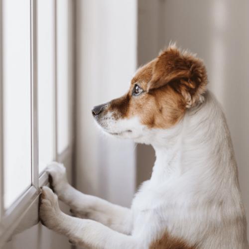 Koira katsoo ikkunasta ulos.
